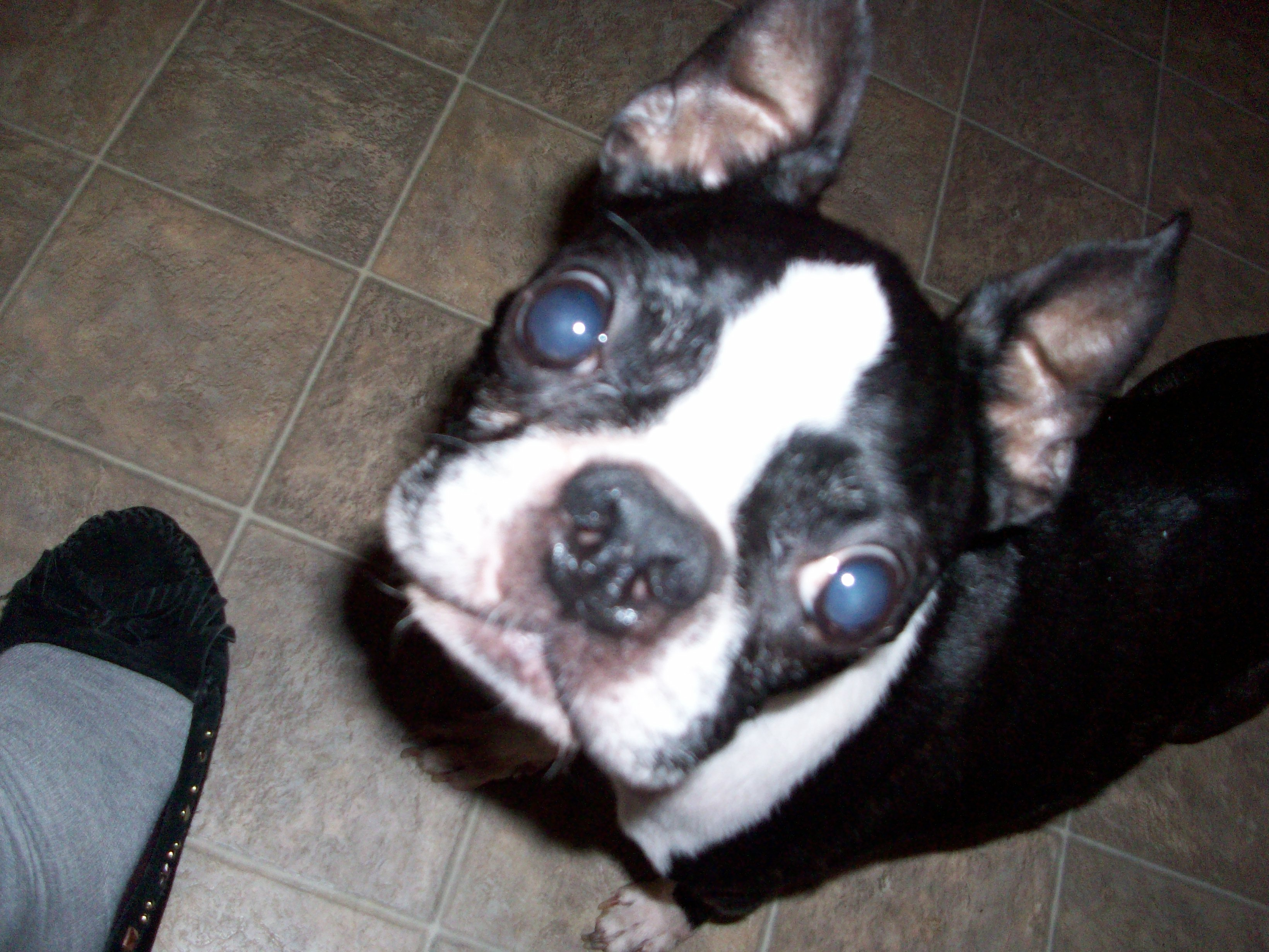 For The Love Of Boston Terriers Madmuser